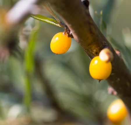 argousier: buckthorn berries on branch Banque d'images