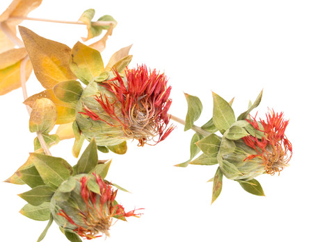 Flowers with safflower seeds Stock Photo