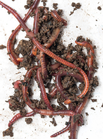 red earthworms Stock Photo