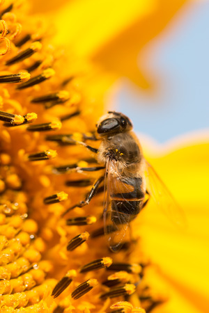 bee on flower: a bee on a flower Stock Photo