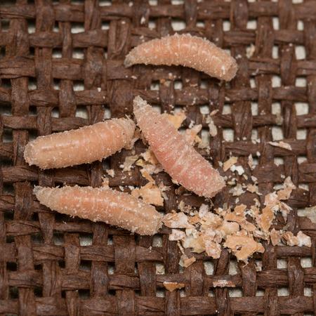 maggots larvae of flies 版權商用圖片