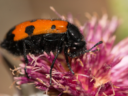Black and red beetle on a flower