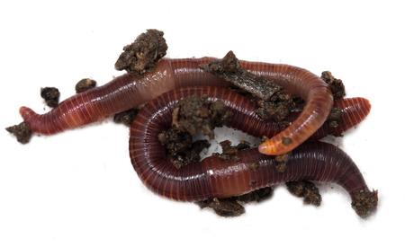 Würmer auf weißem Hintergrund Standard-Bild - 90258813