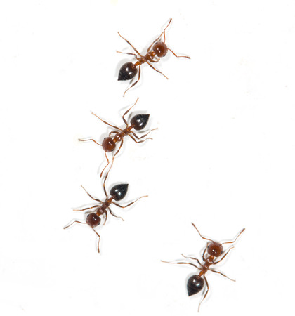 ants on a white background Reklamní fotografie