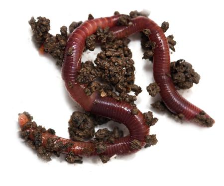Würmer auf weißem Hintergrund Standard-Bild - 90258584