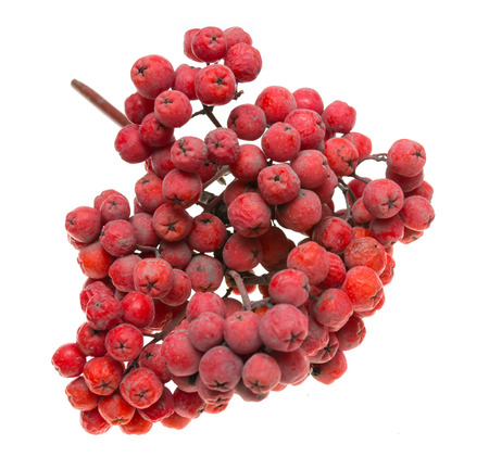 berries of mountain ash on a white background