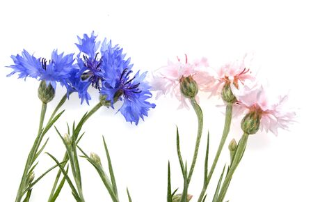 Pink and blue flowers of a cornflower on a white background
