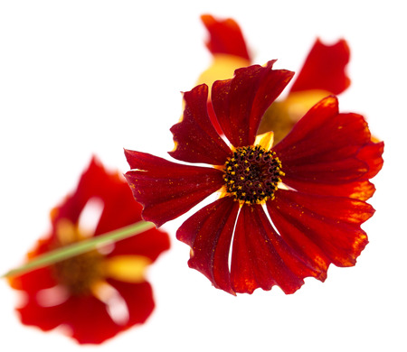 red flower on a white background Archivio Fotografico - 99293445