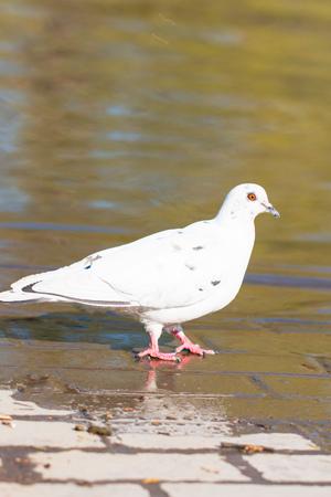 dove in the water Banco de Imagens