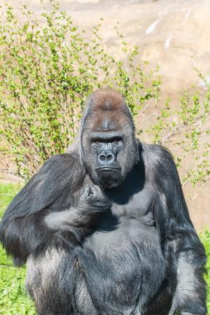 male gorilla in the zoo