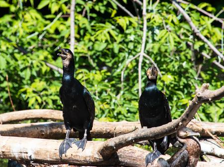 bird cormorant in the water