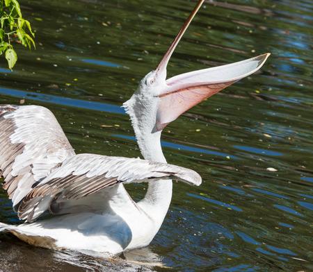 Pelican bird in water