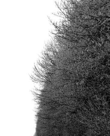 hoarfrost tree branches on white background