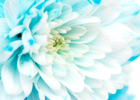 blue chrysanthemum as a background
