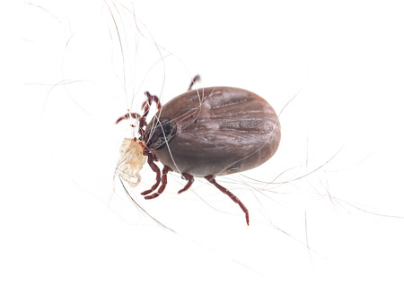 blood sucking insect mite on white background Stock Photo