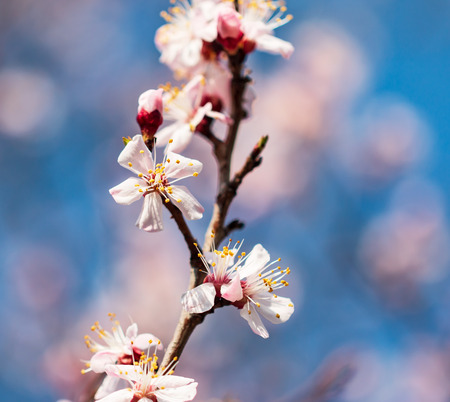 apricot flowers on a branch against a blue sky