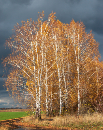 autumn birch against the sky