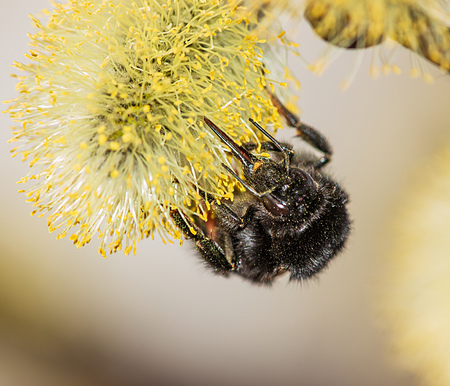 fluffy bumblebee on a flower with pollen Imagens