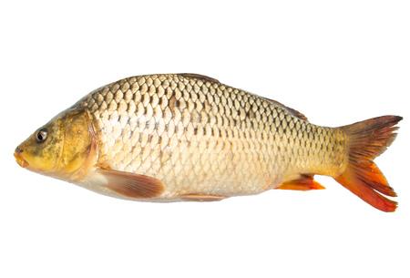 fish sazan on white background