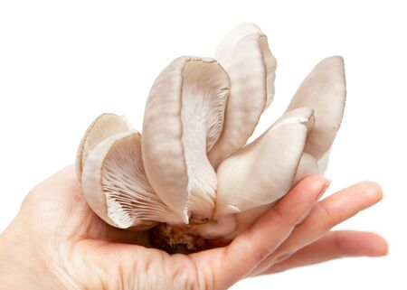 fresh oyster mushrooms on a white background