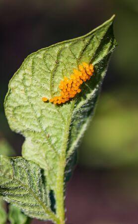larvae of pest beetles on the leaf