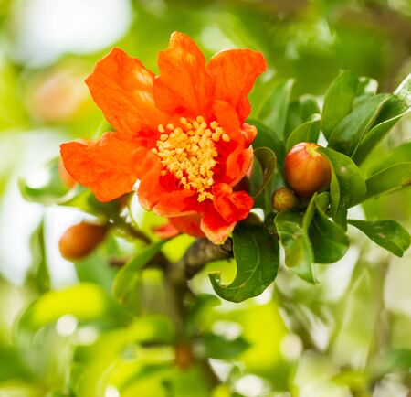 pomegranate flowers on the branch