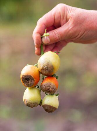 tomato disease gray rot on fruit