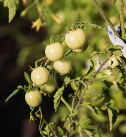 green cherry tomatoes on a branch