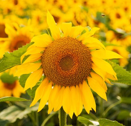sunflower flowers on the field as background