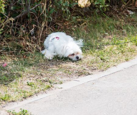 white small dog on a walk Standard-Bild - 130518859