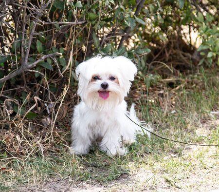 white small dog on a walk Standard-Bild - 130519034