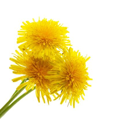 yellow dandelion on a white background