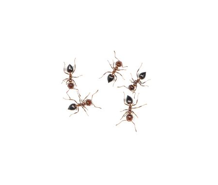small black ants on a white wall