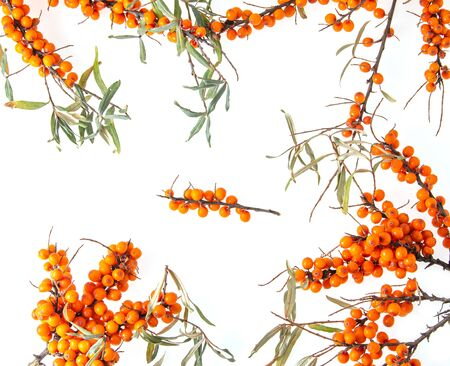 sea buckthorn berry on a branch on a white background