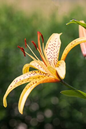 yellow lily flower with red spots