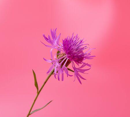 blue cornflower flower on a pink background Фото со стока