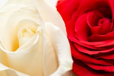 white and red rose on a white background