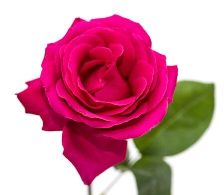 pink rose flower white background Фото со стока