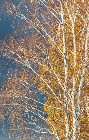 autumn birch against the sky