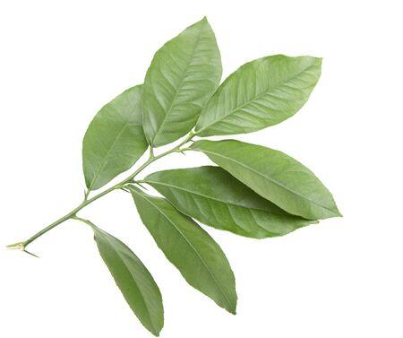 green lemon leaves on a white background