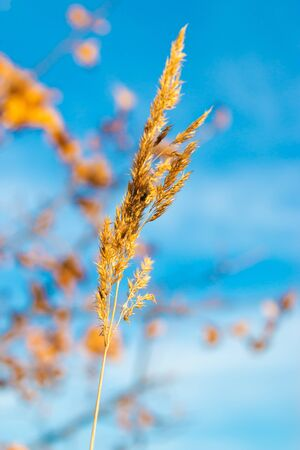 spikelet of grass against the sky