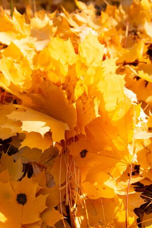 autumn maple leaves as background