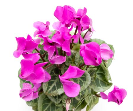 flower with pink flowers on a white background
