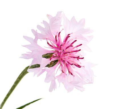pink cornflower flower on a white background