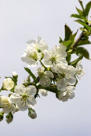 white cherry flowers on a branch