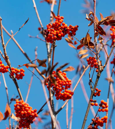 rowan berries on a branch against the sky