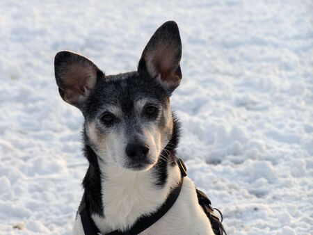 Closeup of rat terrier after heavy snow. Banco de Imagens