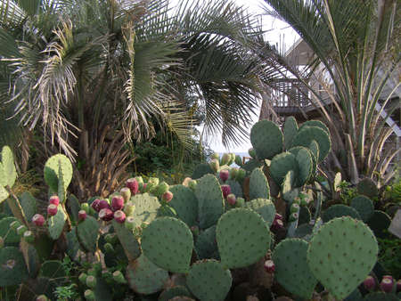 resilient: Cacti growing near the shoreline along the Gulf of Mexico.