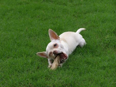 Young chihuahua laying in the grass, chewing a stick.