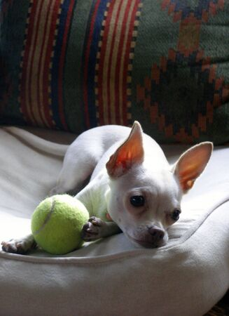 Young chihuahua resting on chair with toy.